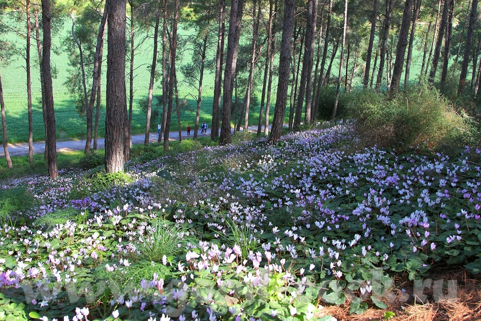 Расцвели цикломены в лесу