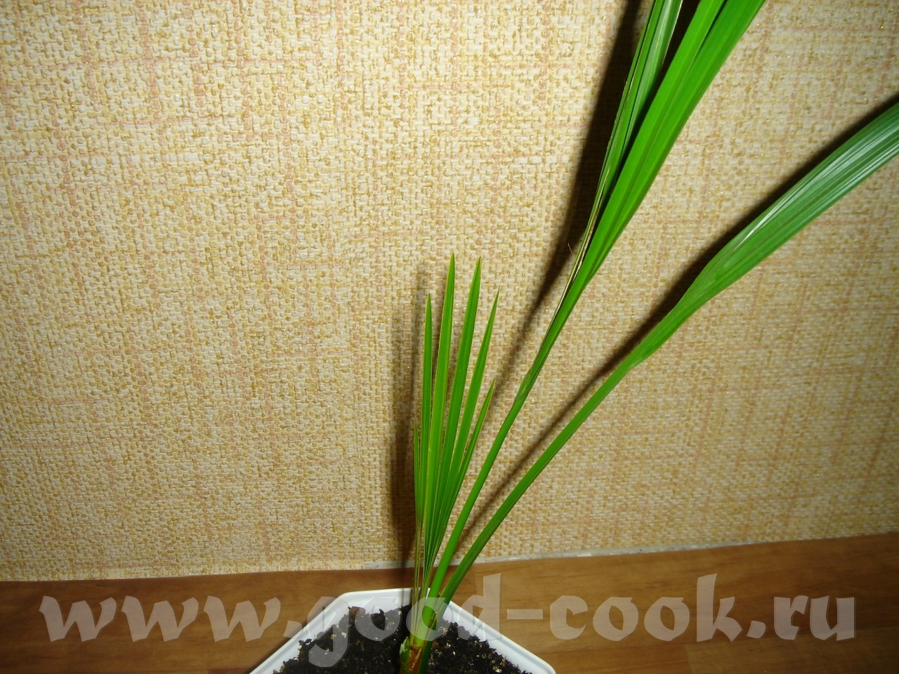 Пальма выращенная из финиковой косточки в домашних условиях 310