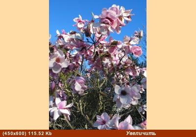 плачущая мексиканская сосна воспоминание о весне - 2