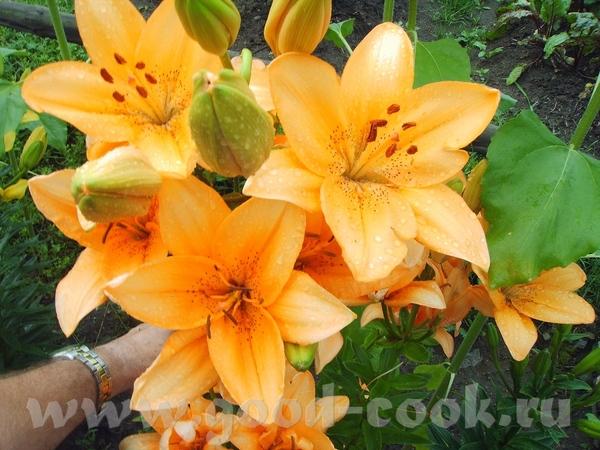 А у нас Лилии цветут в саду - 2