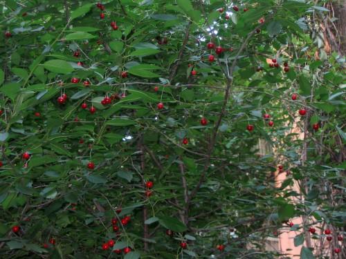 Наши дворы и улицы засажены почти сплошняком только фруктовыми деревьями, спасибо тем, кто это дела...