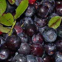 Черника и Голубика - английское название: Bilberry, Black whortleberry, dyeberry, whinberry, , burr... - 3