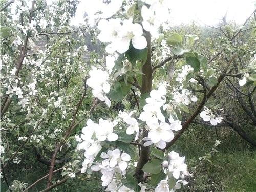 Сибирь богата на фрукты:здесь выращивают и растут не только цветы но и розы, яблоки и груши, абрико... - 4
