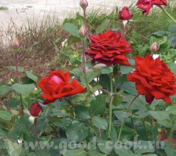 Мамины розы - 3