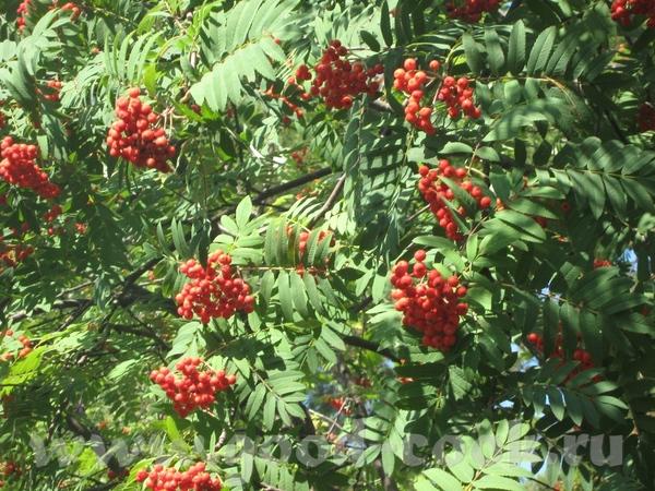 Уральская ряинушка, ягод в этом году много