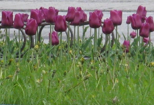 Немного весны, цветущие магнолии разных видов - 9
