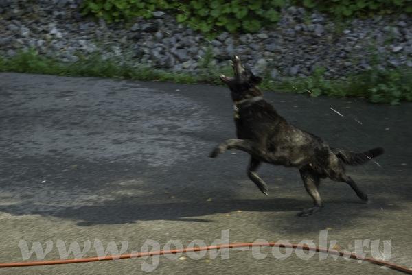 А вот и мой зверь: любитель малины и ежевики (добежать до куста малины быстрее меня, ободрать его п... - 2