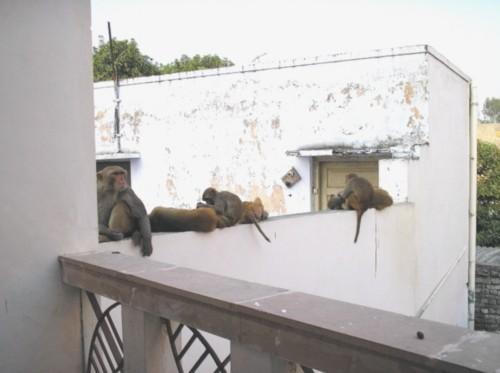 Все такие красивые Зоопарком навеяло - вот такие обезьянки к нам наведываются каждый день