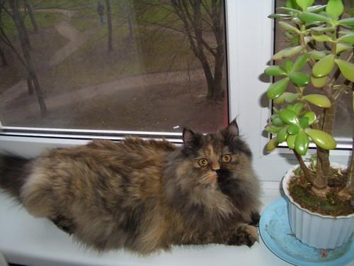 А вот это чудо кошка моих родителей, Доминика или просто Ника )) У нее просто супер хвост, любая ли...