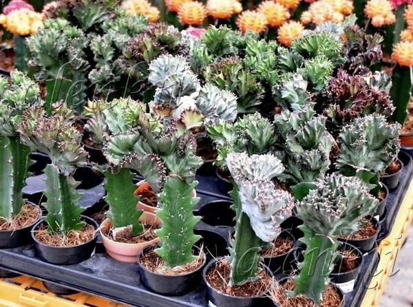 Здесь можно приобрести кактусы всевозможные и разнообразные - 3
