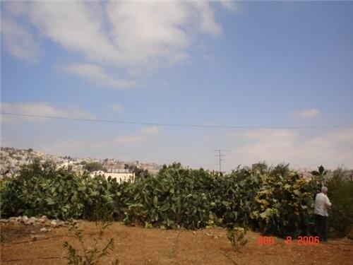Это кактусы на фоне Бейт-Жала