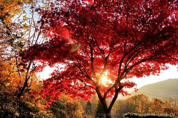 Красный (японский) клен набрал свою красоту