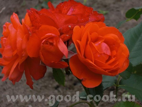 Мамины розы - 7