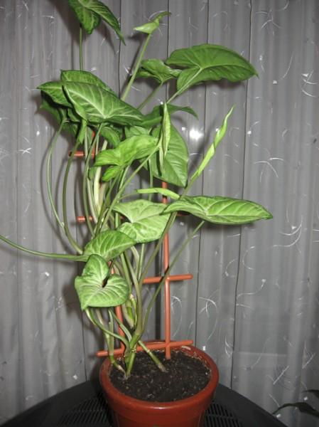 Показываю своих зеленых и любимых красавцев Это щука, по научному - ) Высота больше метра А это та... - 6