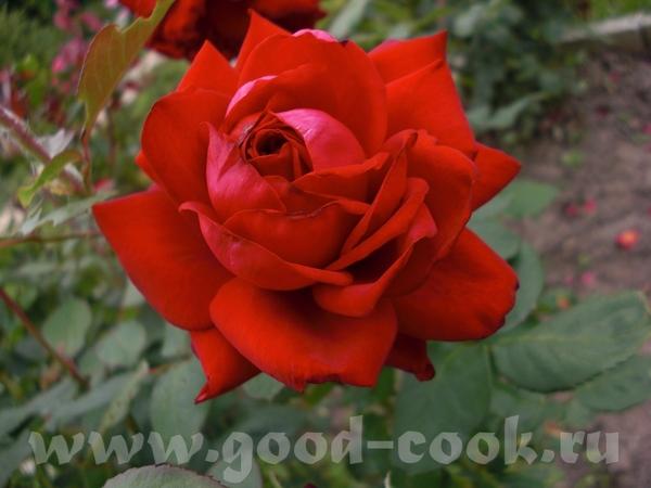 Мамины розы - 6