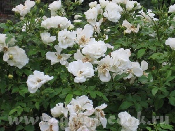 Есть и розы, но немного сникшие - 2