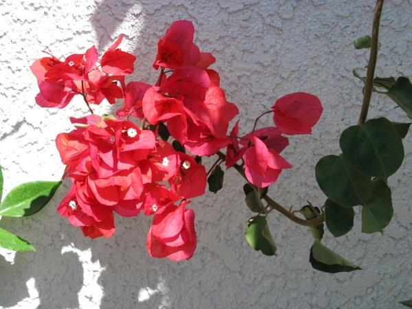 Прекрасный Гибискус растет как кусты везде, самое интересное что стригут его как кусты или газон, о... - 2