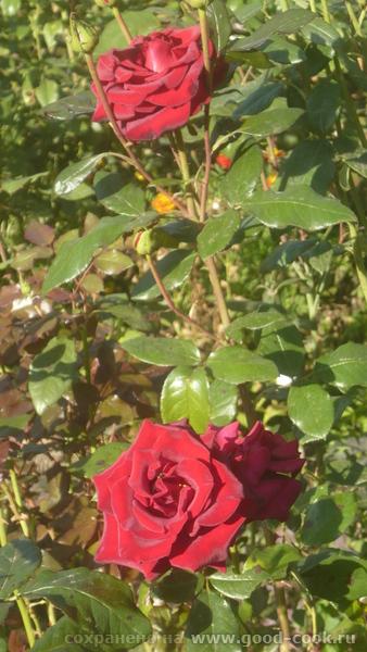 Осеннии краски у меня в саду - 6
