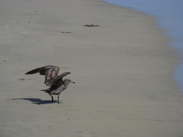 черные и серые чайки водоросли в виде Бoа - 3