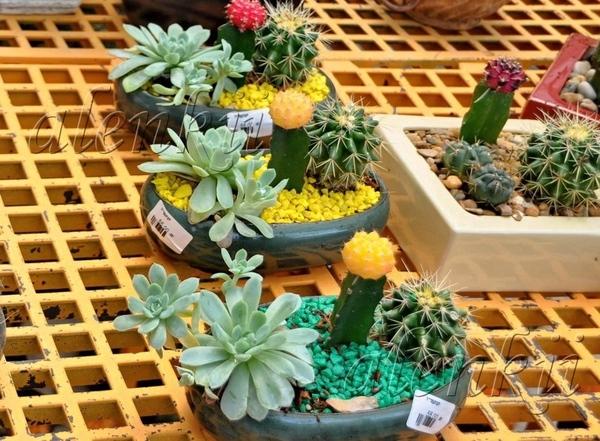 Здесь можно приобрести кактусы всевозможные и разнообразные - 4