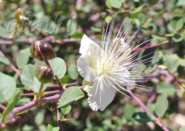 Здесь и красивые кусты бугенвиллий и каперсов,заросли кустарников соланума и лантаны - 2