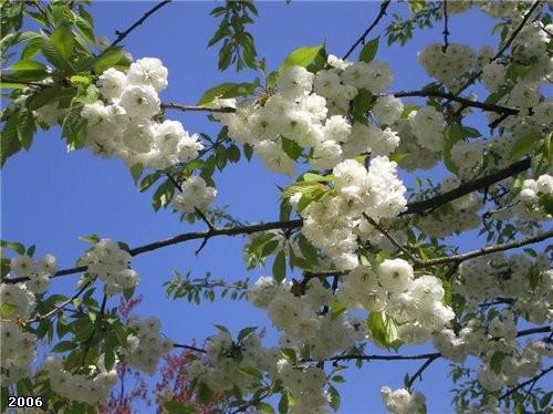 А это- белая махровость цветущая, не знаю, что это за дерево такое, бывает еще и розовая