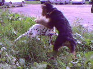 А вчерась нашел себе подругу-долматинку такого же созраста,скакали как сумасшедшие,потом не могли о...