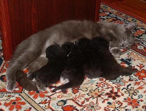 """А вот и мои родные: Наш папа лег на ковер полюбоваться котятками, а они решили """"полюбоваться"""" им -... - 2"""
