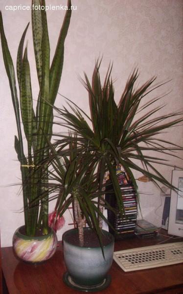 Показываю своих зеленых и любимых красавцев Это щука, по научному - ) Высота больше метра А это та... - 2