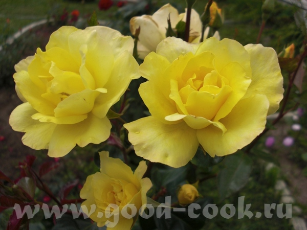 Мамины розы - 4