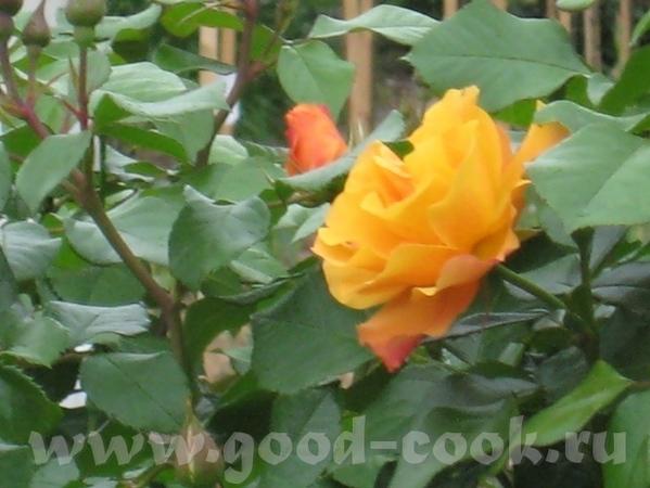 Рядом с моим домом в Садоводческом центре распустились розы - 6