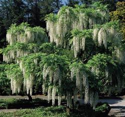 """если верить гугелю, то это одно и тоже Еще есть """"japanese wisteria 'pink' """" lapanese wister... - 2"""