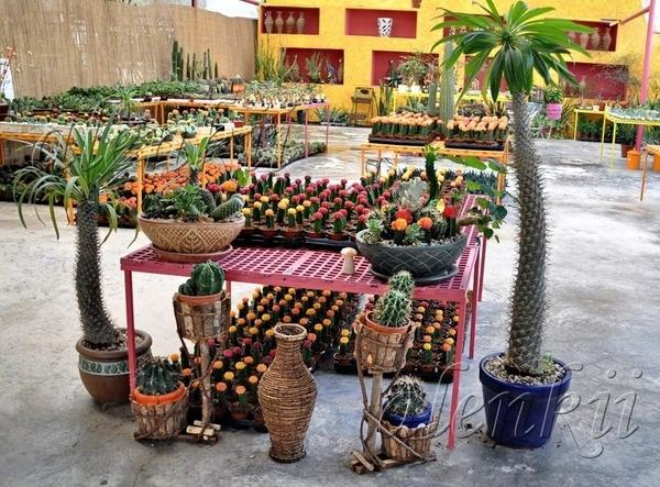 Здесь можно приобрести кактусы всевозможные и разнообразные