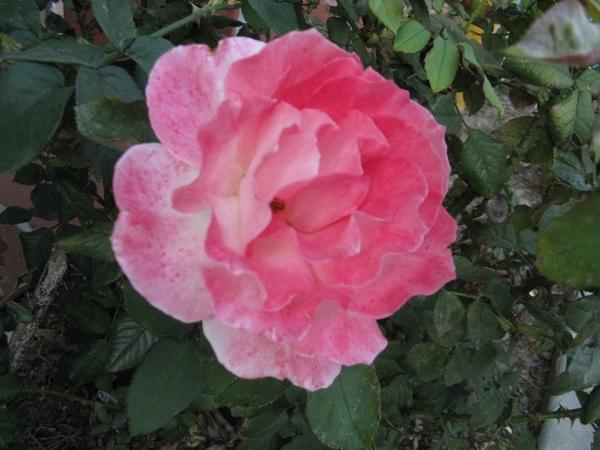 Очень интересное растение, цветы не цветы и вот такой куст лист копия ёжика даже от прикосновения к... - 6