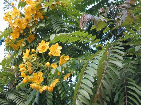 Очень интересное растение, цветы не цветы и вот такой куст лист копия ёжика даже от прикосновения к... - 9
