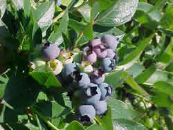 Голубика (Blueberry) По богатству витамина С голубика превосходит чернику