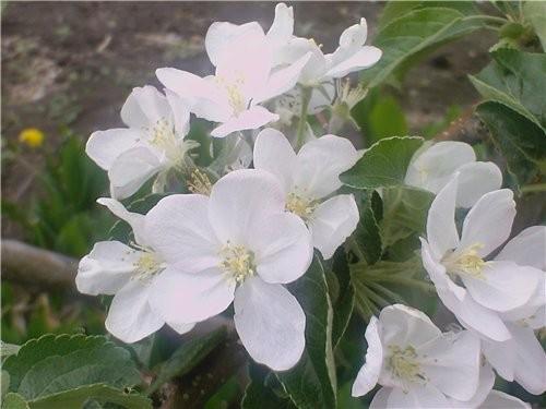 Сибирь богата на фрукты:здесь выращивают и растут не только цветы но и розы, яблоки и груши, абрико... - 3