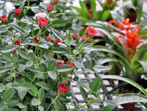 И растения других видов Тилландсия - 3