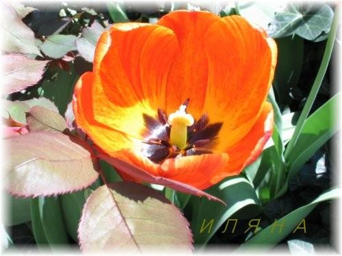 Теперь цветочек ТОГО дерева, не знаю толком как оно называется - 2