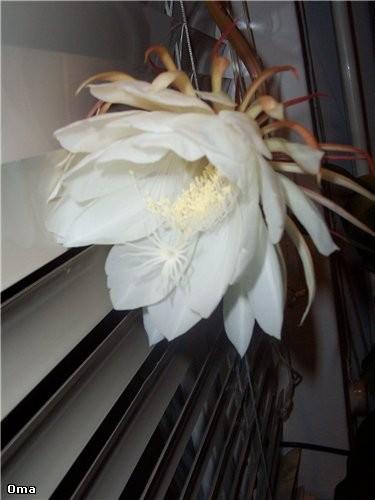 Вот такой цветочек цветёт только одну ночь в 3 или 5 лет - 2