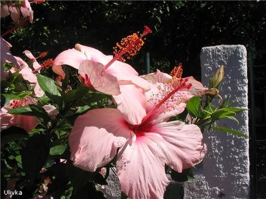 очень красивы и гибискусы бледно-розовые и насыщенно красные