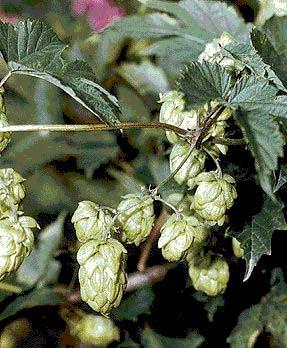 Хмель обыкновенный Коноплевые - Cannabaceae - 3
