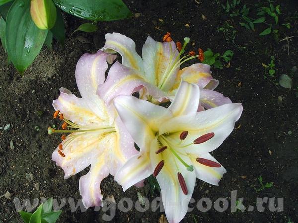 А у нас Лилии цветут в саду - 3
