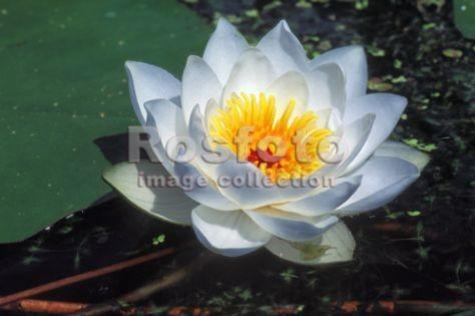 цветок кувшинка