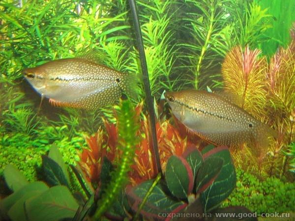 Вот таких рыбок мой брат выращиваетдома - 2