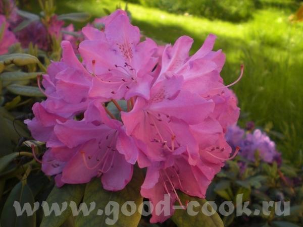 Цветет рододендрон: Возде дома расцветают розы: Вечное и прекрасное небо: