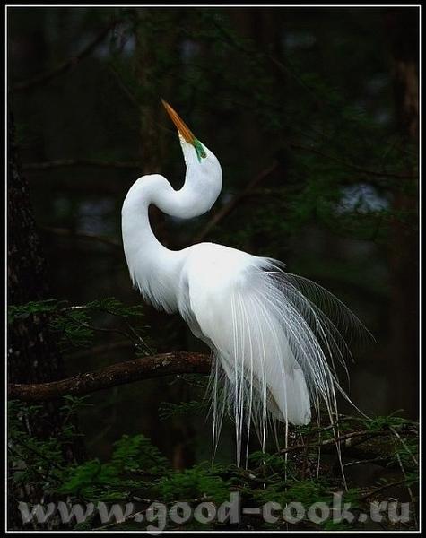 Если этo тебе поможет- лови ещё Большая белая цапля (не аист)- Great White Heron ------------------... - 4