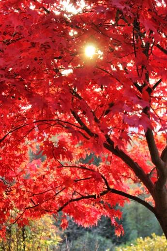 Красный (японский) клен