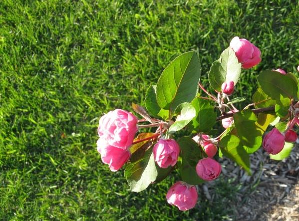 Лар у вас уже поздние цветут, а у нас только начали и черёмуха пошла вот и похолодало - 7