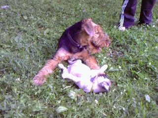 Мой вчера завалил щенка мопса(девочку) и всю облизал,а та то как была рада